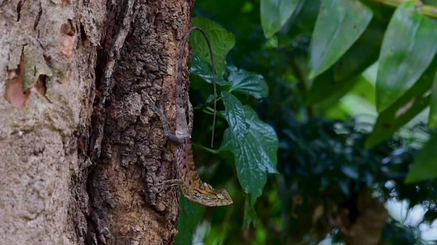 The Oriental Garden Lizard is also called the Eastern Garden Lizard, Bloodsucker and Changeable Lizard; it has the ability to change its colours according to its lifecycle and can be commonly found. | Shutterstock HD Video #1039279946