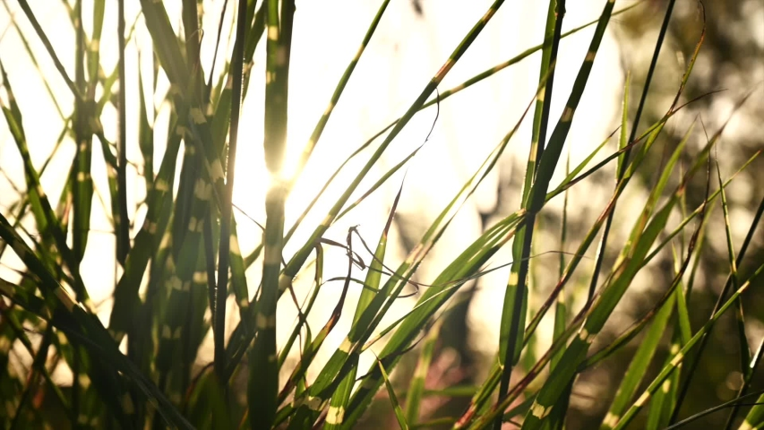 Medium low angle backlight shot of a tall grass (Miscanthus sinensis). The sun shines through the grass producing a soft sun flare. | Shutterstock HD Video #1039850366