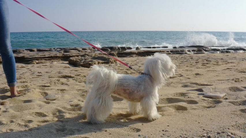 White Maltese dog shaking in slow motion at the beach at sunny day. | Shutterstock HD Video #1040044826