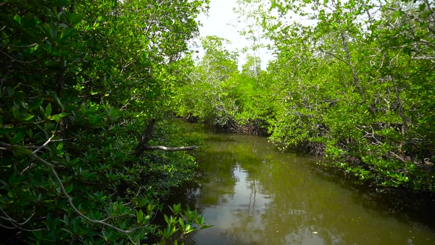 Swamp water pool in a mangrove forest | Shutterstock HD Video #1040201606