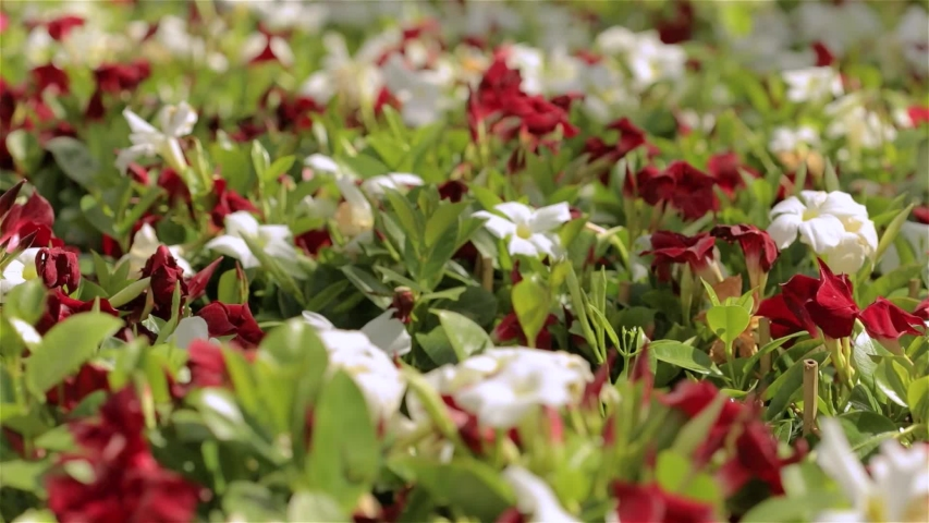 Colorful blooming flowers ready for sale, flowers for gift, flowers for sale | Shutterstock HD Video #1040908796