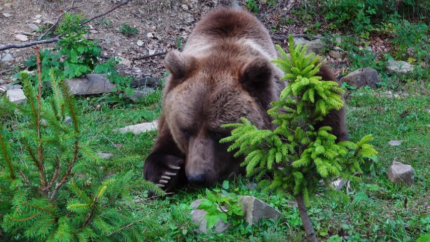 Huge brown beautiful bear eat grass.   Shutterstock HD Video #1041460936