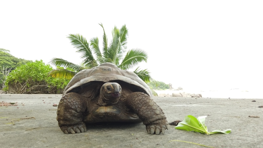 Aldabra Giant Tortoise, Aldabrachelys gigantea. Popular tourist attraction in Seychelles, Indian Ocean. Natural sea background in Anse Severe beach road of La Digue island. | Shutterstock HD Video #1041511546