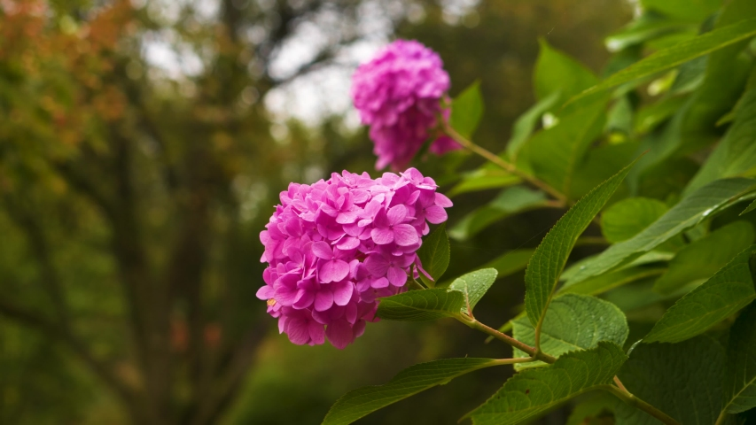 Two beautiful pink flowers on a windy day with leaves falling in the background | Shutterstock HD Video #1042254856