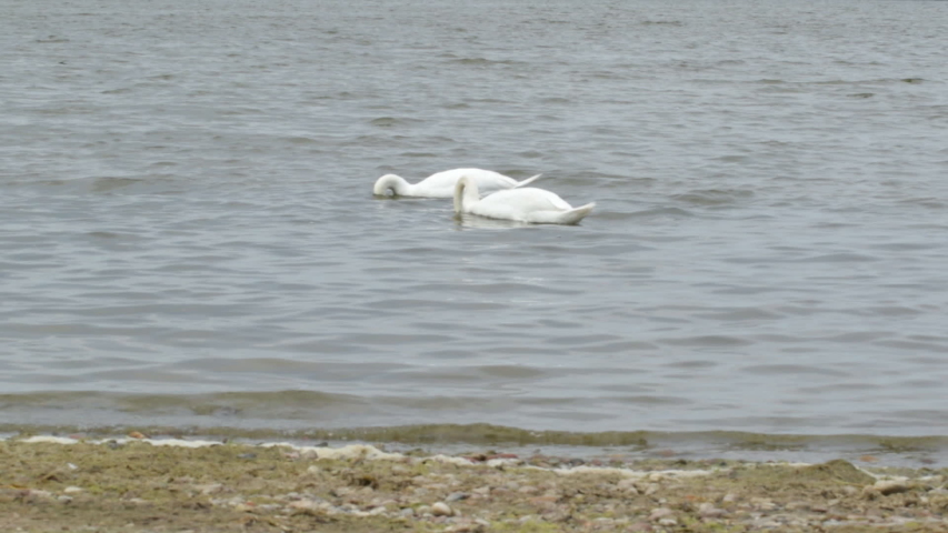 White Swan on the Baltic Gulf looking for food | Shutterstock HD Video #1042261726