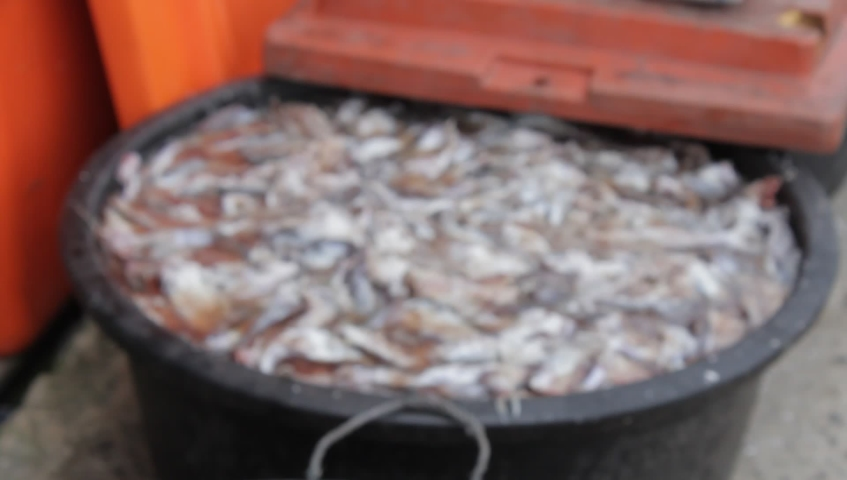Traditional process of making salted fish.  Fish that have been cleaned soaked with salt | Shutterstock HD Video #1042797646