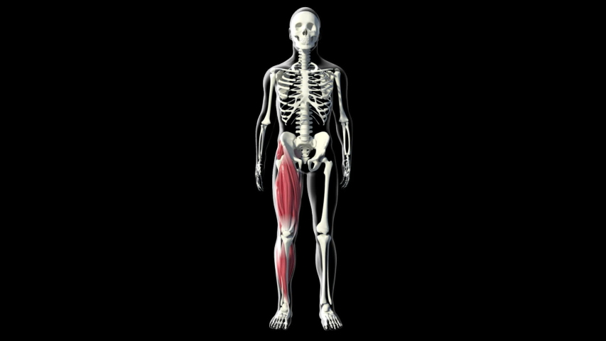 This video shows the quadriceps muscles | Shutterstock HD Video #1043276866