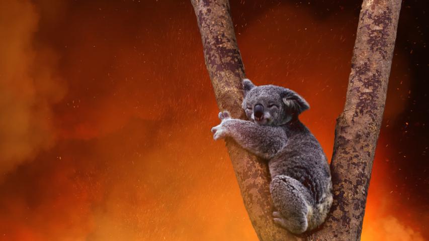 Koala Bear In Tree Caught In The Fire   Shutterstock HD Video #1044037576