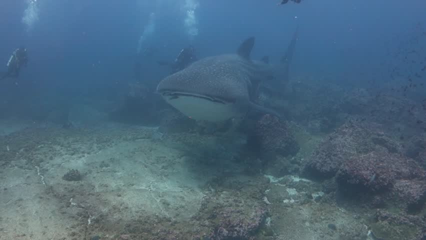 Whaleshark swims by close beneath the camera at Darwin's Arch in the Galapagos.   Shutterstock HD Video #10442486