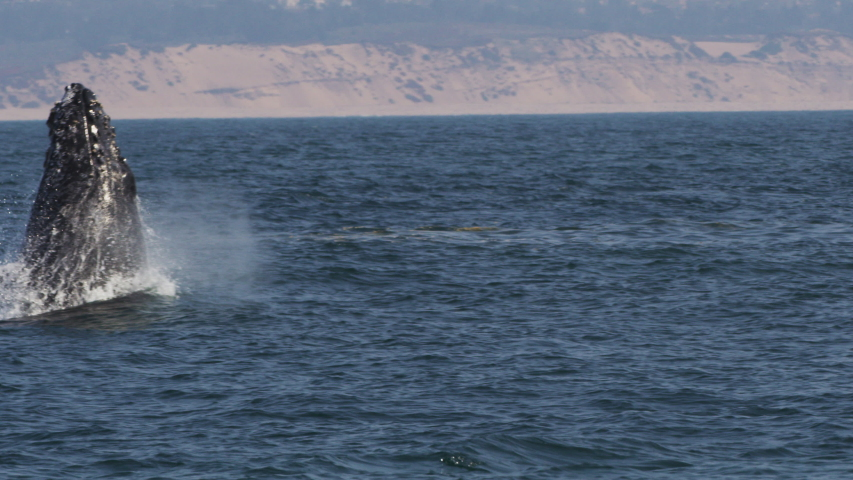 Breaching of Humpback whales in Antarctic ocean