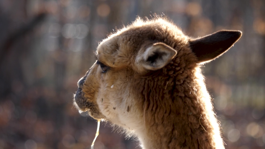 Close up of vicuna eating an slobbering around | Shutterstock HD Video #1044816916