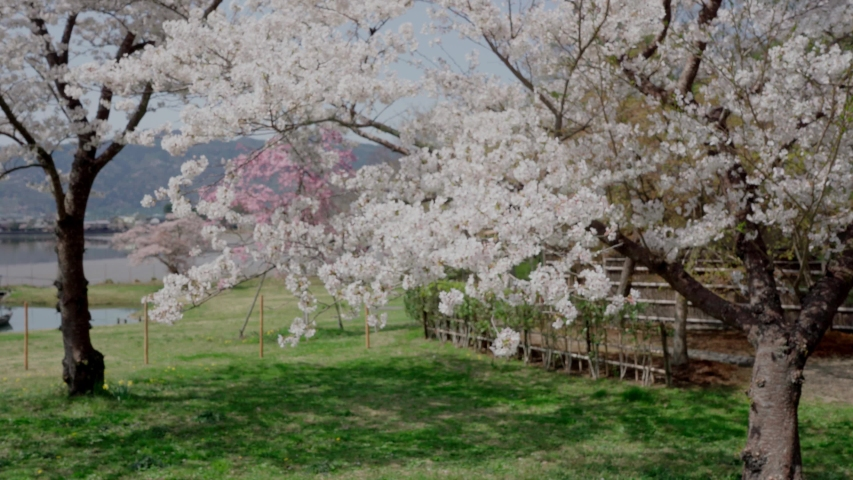 Cherry blossoms in Kyoto, Japan | Shutterstock HD Video #1044916366