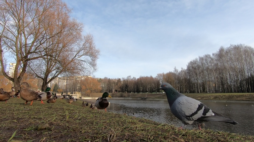 Wild birds pigeons and ducks close-up in the park   Shutterstock HD Video #1044924076