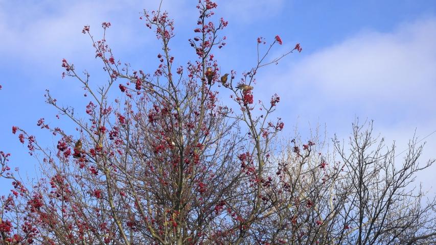 A large Flock of Birds Thrush Fieldfare (Turdus pilaris) picks berries on a rowan tree | Shutterstock HD Video #1044925846