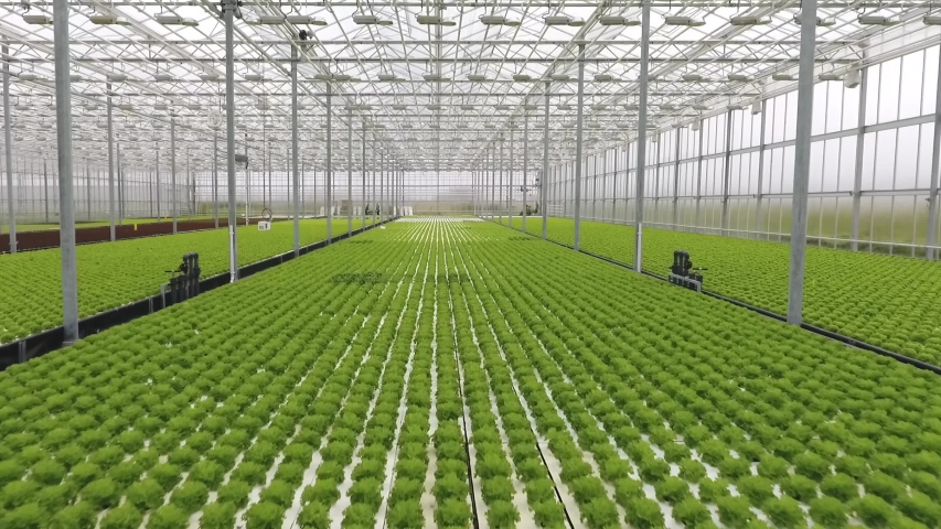 Green lettuce growing in a big bright modern glass greenhouse, warmhouse. Hydroponics, plantation, pattern | Shutterstock HD Video #1047228916