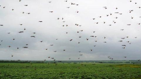 Locust Swarm on the field. Locust Swarm is flying over field.