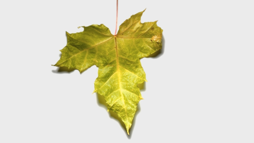 Green maple leaf change color and shrivel away, time lapse shot, isolated on white background. Withering of deciduous trees foliage at autumn season | Shutterstock HD Video #1049441356