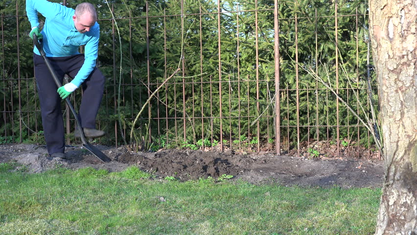 Gardener Man With Spade Digging Flower Bed Soil Ground Near Steel Hedge  Fence And Rose Sprouts