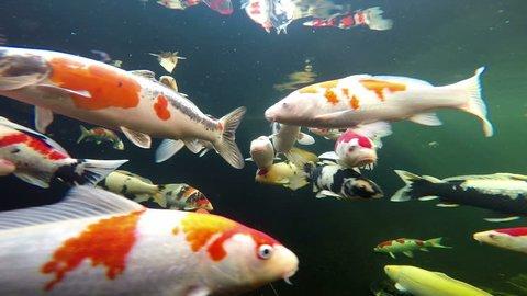 Underwater view of Japanese Koi fish swimming