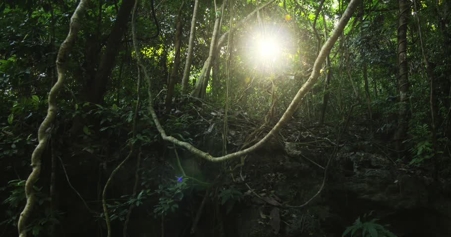 Dense jungle forest background. Liana vines and tropical trees under canopy of humid rainforest