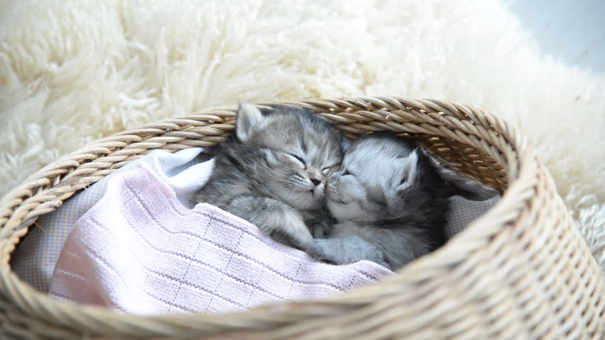Cute tabby kittens sleeping and hugging in a basket #10610396