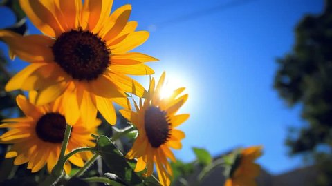 Sunflower against blue sky and sun shines through the flowers