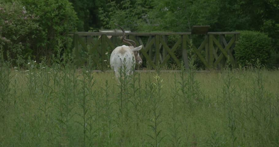 Addax, Antelope, Feeding, Backside. Field, meadow, wild grass and field flowers are swaying, | Shutterstock HD Video #10734146