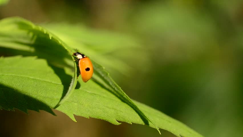 Header of Adalia Bipunctata