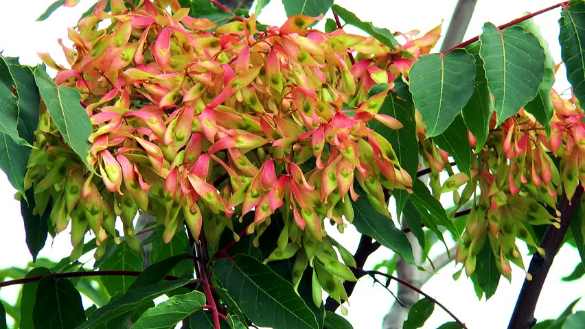 Header of Ailanthus altissima