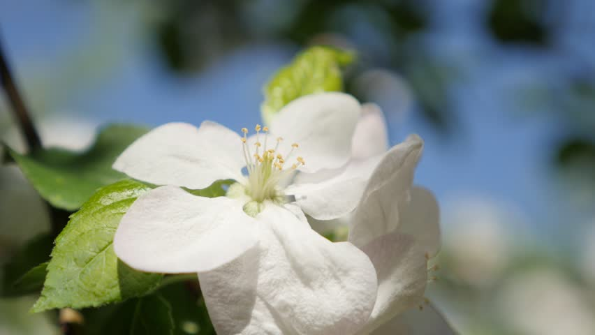 Tilting On Le Tree Spring Flowers Shallow Dof 4k 3840x2160 Ultrahd Footage Beautiful White