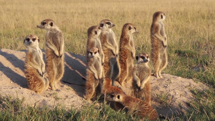 Meerkat family sunning themselves in the early morning sunshine,Botswana | Shutterstock HD Video #10839011