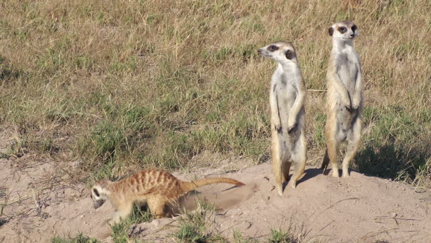 Meerkats on sentry duty while other meerkats clear entrance to burrow, Botswana | Shutterstock HD Video #10839056