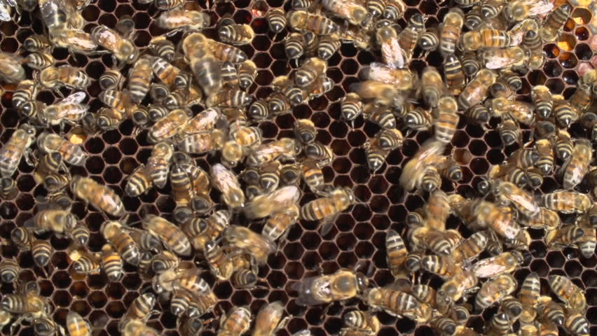 Close Up Of African Honey Bees On Honeycomb