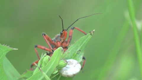 Red yellow Beetle Platymeris  sitting on green leaf, macro, bug, insect