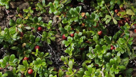 Bearberry Plant with Fruits Red - Plant with medicinal properties. Leaves and ripe berries of bearberry , Arctostaphylos uva-ursi