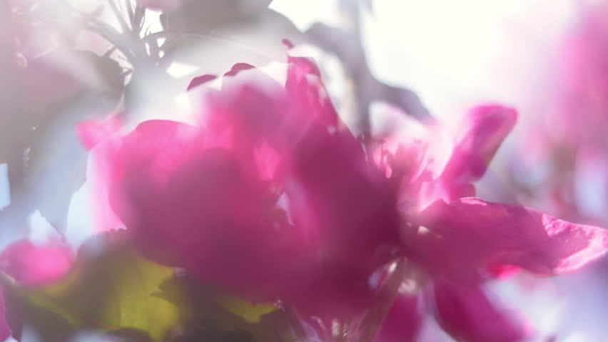 Amazing panoramic view of blooming red apple branch in sunny day with luminant soft blur effect. Shallow dof. Beautiful nature scene of garden tree in springtime. Slow motion hd footage. 1920x1080  | Shutterstock HD Video #10925273