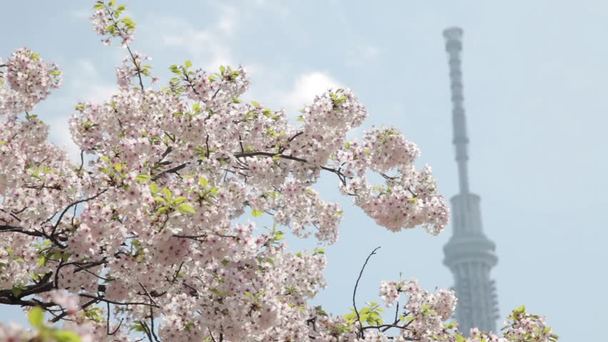 Panning shot of cherry blossoms with Skytree tower in the background | Shutterstock HD Video #10944686
