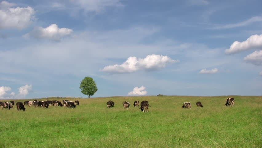 Dairy cows grazing in  meadow with lonely tree on background