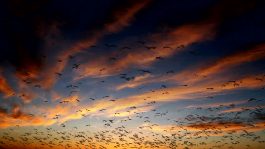 Birds fly against beautiful background of red-streaked sunset clouds in blue twilight. 1080p