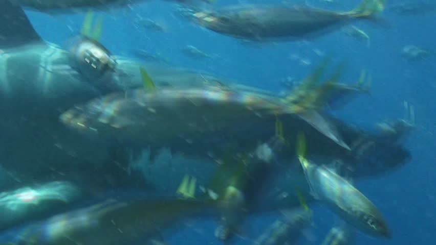 Great White Shark misses bite and leaves.  HD video from inside a cage off Guadalupe Island, Mexico.
