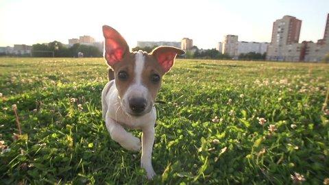 Cute puppy dog Jack Russell three months, slow motion 240 running across grass,sunset light.wide angle shot