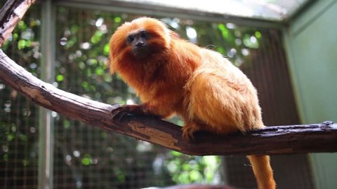 Golden Lion Tamarin sits on branch in aviary at zoo