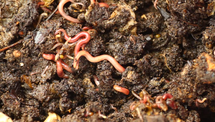 red wriggler worms feeding on organic material. Creating worm castings as part of the vermicomposting process