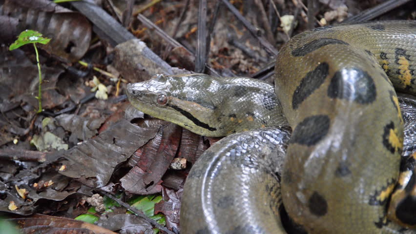 Anaconda slithering away in the Amazon rain forest in Peru