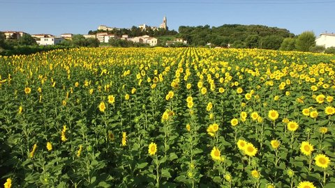 ANCONA, ITALY-June 2015: Aerial View of Italian Sunflower fields and historic village, filmed in 4K.