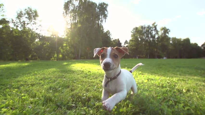 Very cute puppy Jack Russell Terrier running around the grass in the Park , slow motion,sunset, wide angle shooting, running at the camera   Shutterstock HD Video #11211878