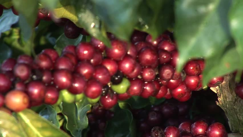 South America coffee culture, plantation