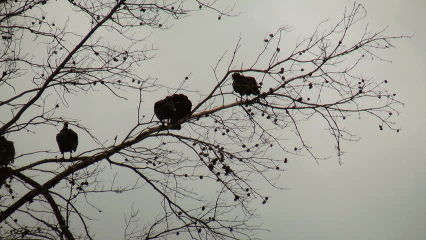 Stock Video Of A Group Of Turkey Vultures In 11333246