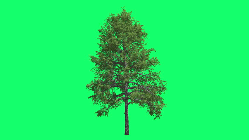 Black Gum Chromakey Swaying Tree Branches Green Swaying Branches Windy Croma Key Alfa Green Background Green Screen outdoors studio summer sunny day breeze