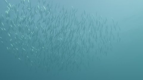 UW slow motion school of sardines moving together, dolphins attack, South Africa, 2012